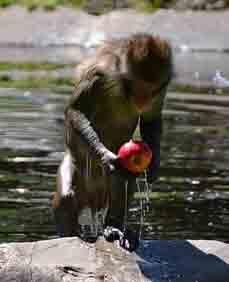 Affe mit Apfel