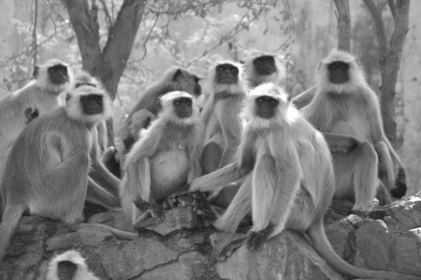 Affengruppe