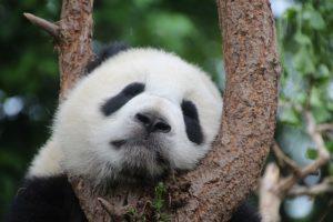 Panda entspannt