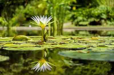Spiegelung Wasserlilie